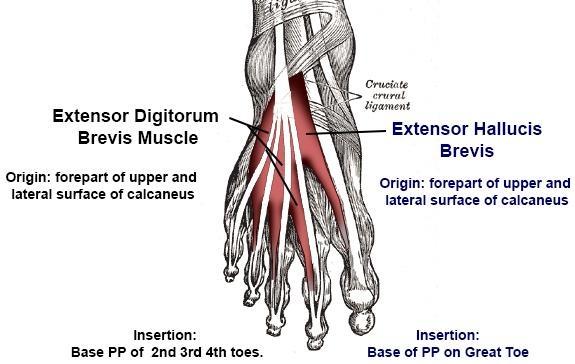 Extensor Muscles Anatomy