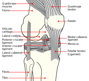 Anatomy of Medial Knee